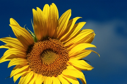 This image has an empty alt attribute; its file name is sunflower-sunshine.jpg